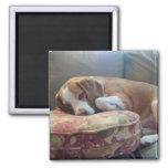 Sleeping Beagle Magnets