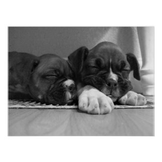 Sleeping Boxer puppies poster print