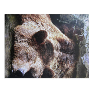 Sleeping brown bear postcard