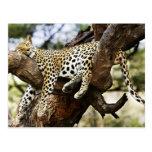 Sleeping Cheetah Postcard