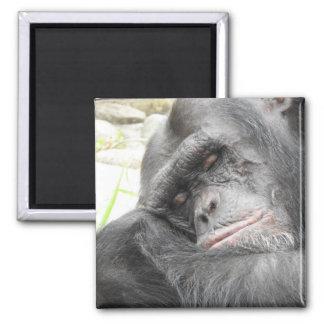 Sleeping Chimpanzee Magnet