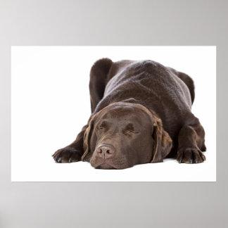Sleeping Chocolate Labrador Poster