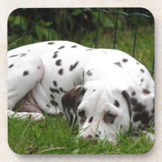 Sleeping Dalmation laying in field Coaster