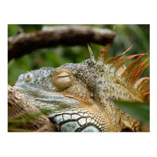 Sleeping Dragon Iguana Postcard