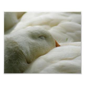 Sleeping Duck 10 x 8 Photographic Print