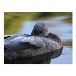 Sleeping Duck Postcard