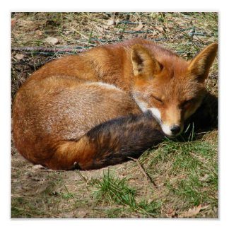 Sleeping Fox Posters
