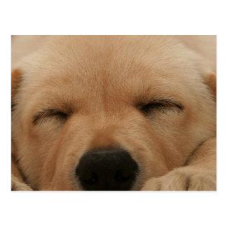 Sleeping Golden Retriever Postcard