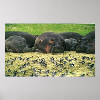 Sleeping Hippos Hippopotamus Portrait Poster