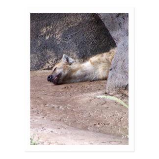 Sleeping Hyena head lying on clay ground picture Postcard
