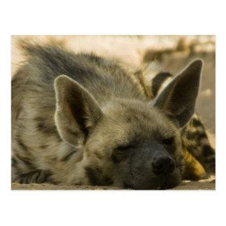 Sleeping Hyena  Postcard