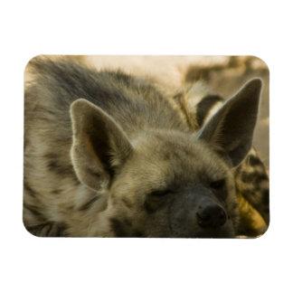 Sleeping Hyena  Premium Magnet