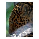 Sleeping Leopard Postcard