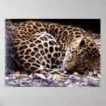 Sleeping Leopard Print Poster