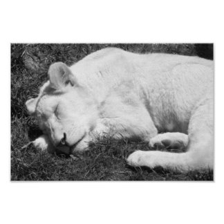 Sleeping Lioness Black And White Photograph Poster