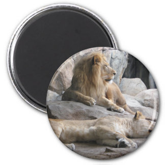 Sleeping Lions Photograph Magnet
