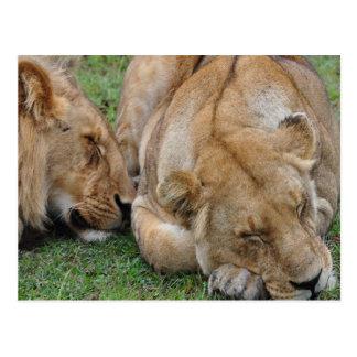 sleeping lions postcard