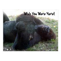 Sleeping Lowland Gorilla Wish You Were Here Postcard