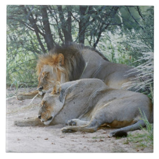 sleeping male lion and lioness, Panthera leo, Large Square Tile