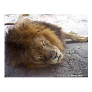 Sleeping male lion head view photograph postcard