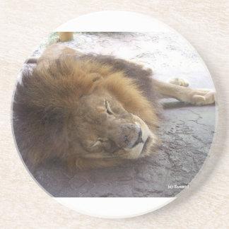 Sleeping male lion head view photograph sandstone coaster