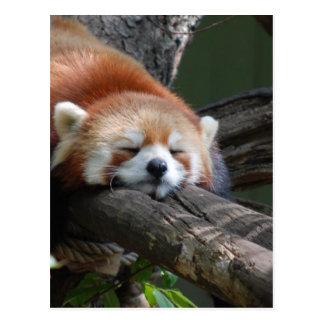 Sleeping Panda Bear  Postcard