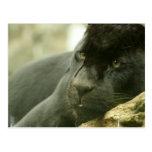 Sleeping Panther Postcards