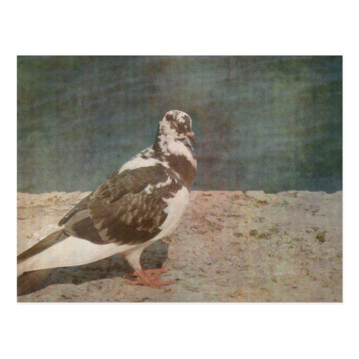 Sleeping Pied Pigeon Grunged look Postcard