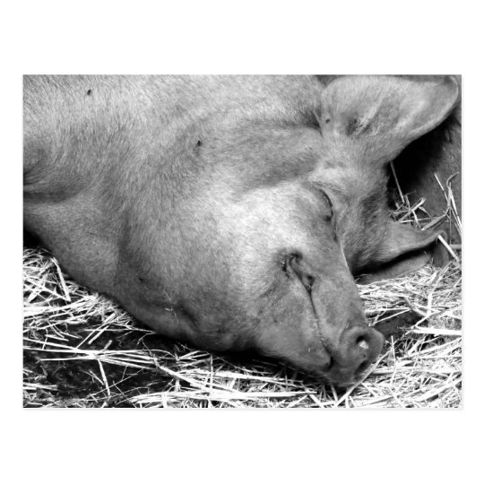 Sleeping Pig Black and White Photo Postcard