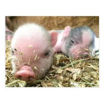 Sleeping Piglets Postcard