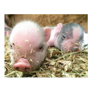 Sleeping Piglets Postcard