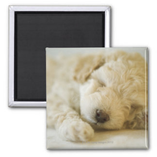 Sleeping Poodle puppy 2 2 Inch Square Magnet