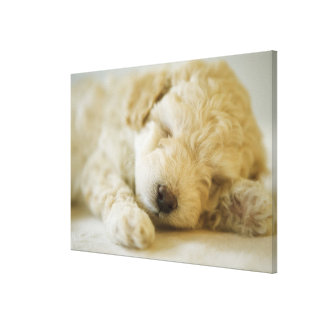 Sleeping Poodle puppy 2 Canvas Print