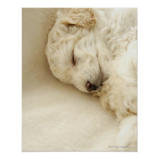 Sleeping Poodle puppy Poster