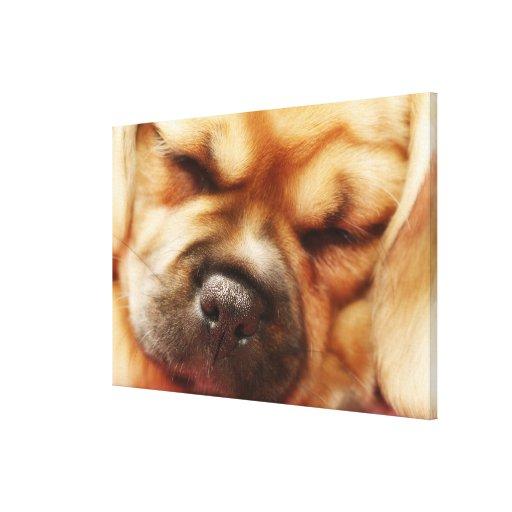 Sleeping Pugalier Puppy Close up Canvas Print