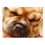 Sleeping Pugalier Puppy Close up Postcards