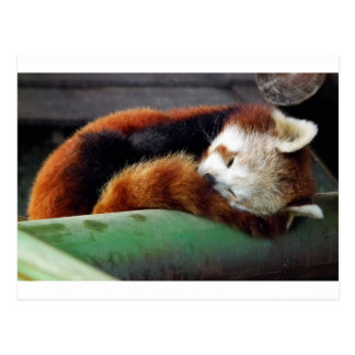 Sleeping Red Panda Postcards