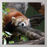 Sleeping Red Panda  Poster