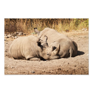Sleeping Rhinos Print Photo Print
