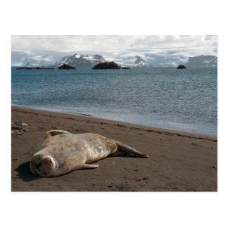 Sleeping Seal Postcard