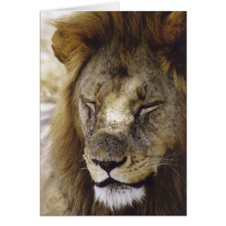 Sleeping Simba (Lion) Card