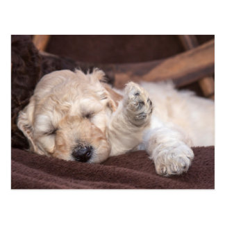 Sleeping Standard Poodle puppy Postcard
