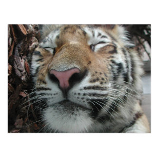 Sleeping Tiger Postcard