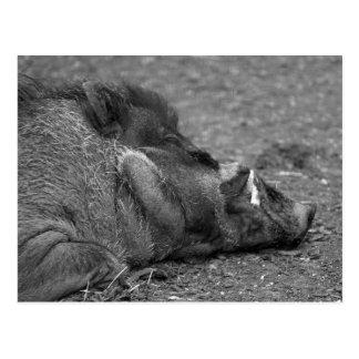 """""""Sleeping Warty Hog"""" Postcard"""