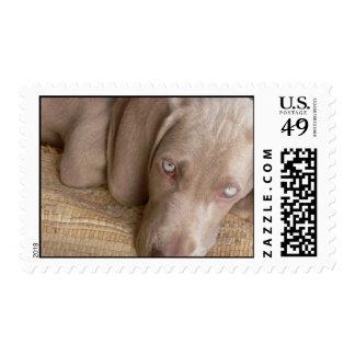 Sleeping Weimeraner Postage Stamp