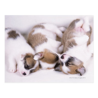 Sleeping welsh corgi puppies postcard