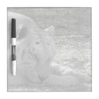 sleeping white tiger bw photograph of huge cat Dry-Erase boards