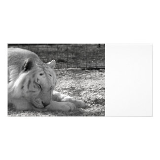 sleeping white tiger bw photograph of huge cat photo cards
