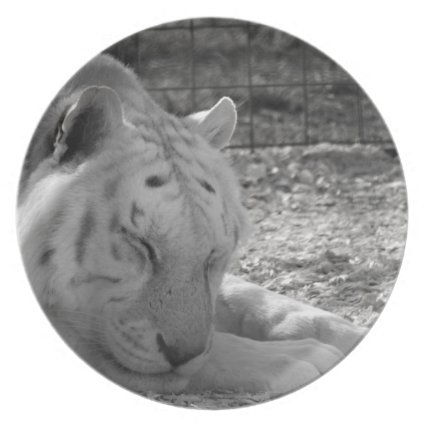 sleeping white tiger bw photograph of huge cat party plates