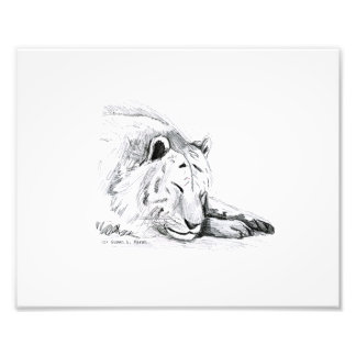 Sleeping White Tiger head and paws Pencil Drawing Photo Print